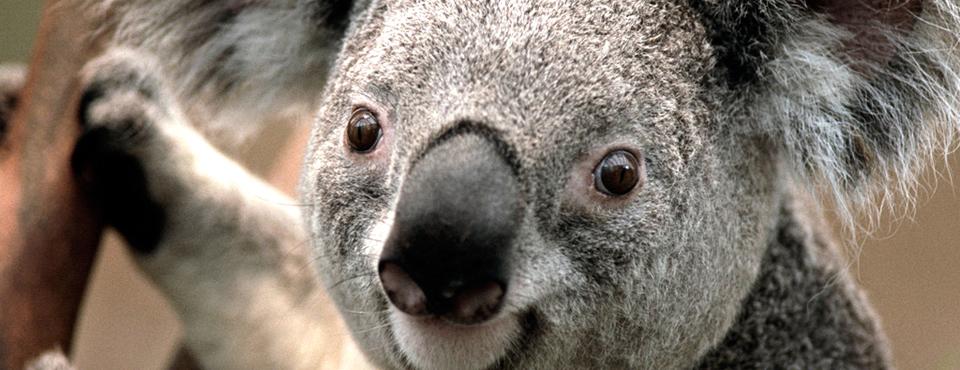 Koala960x370